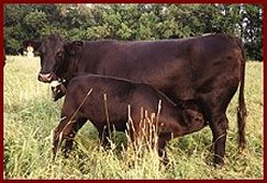 Twin Springs Farm -Black Angus Cattle