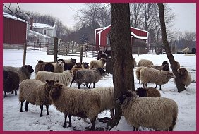 Our flock of Shetland Sheep in the winter pasture